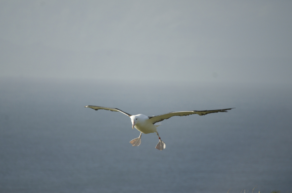 Albatross chick flight - Royal Albatross centre Dunedin