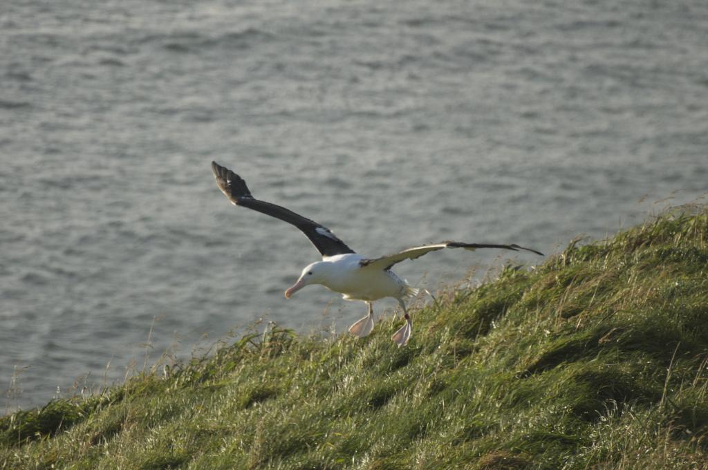 Albatross chick flight - Royal Albatross Centre Dunedin