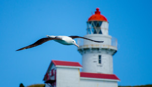 Albatross and Lighthouse - credit Chris McCormack
